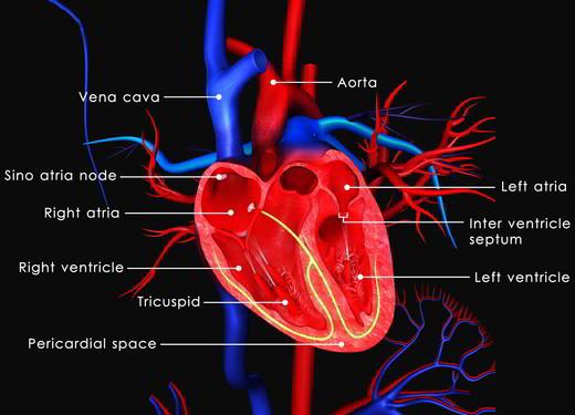 Cosa regola l'attività elettrica del cuore?