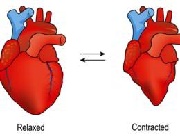 Come si contrae il cuore?