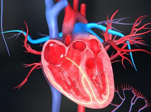 Il cuore, un motore instancabile