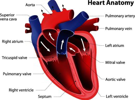 Come è fatto il cuore?