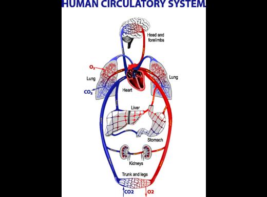 Come arriva l'ossigeno al cuore?