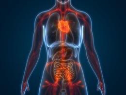 """Identificato nel sistema nervoso il """"capostazione"""" della circolazione"""